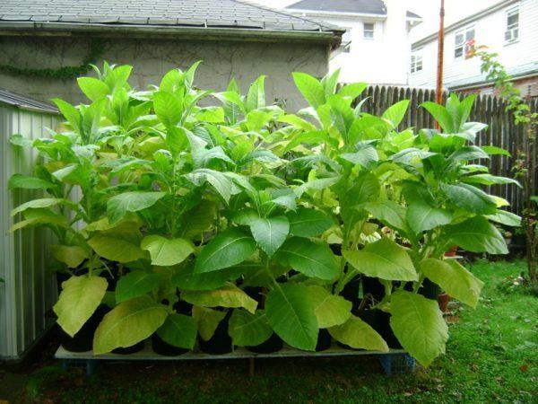 Organic tobacco